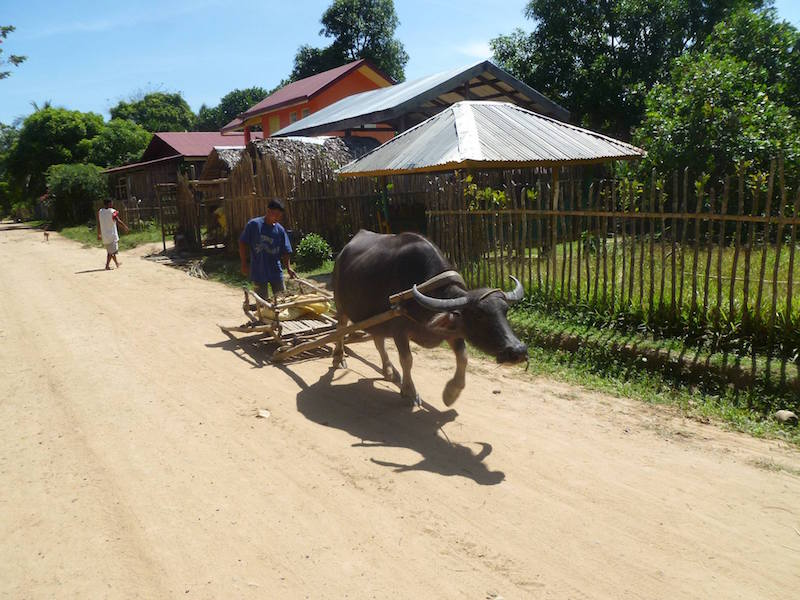 A carabao (local beef) in its way to the fields