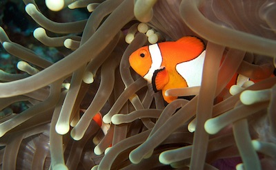 A Clown Fish in El Nido, Palawan