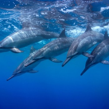 A pod of Spinner Dolphins - Whale watching in Puerto Princesa, Palawan