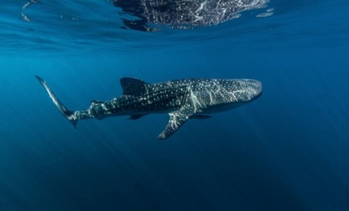 Swim with the Whale Sharks in Puerto Princesa - Online Booking